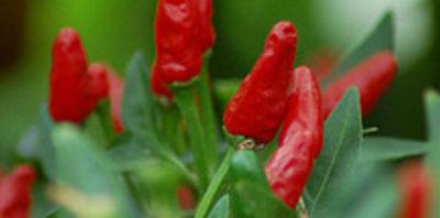 Usos medicinales y aplicaciones curativas del Aji pimiento Para qué sirve el pimiento