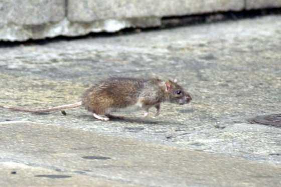 Ratas: una plaga que se toma Nueva York