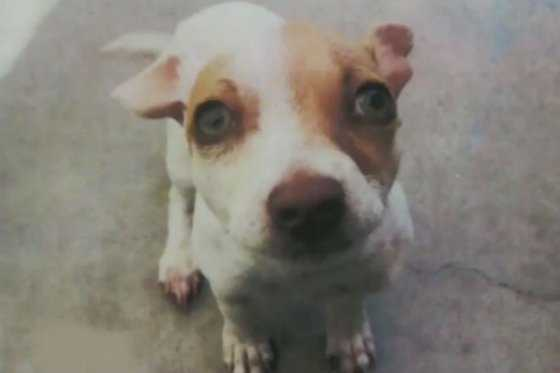 Crueldad animal: perro fue drogado por su propietario en Estados Unidos