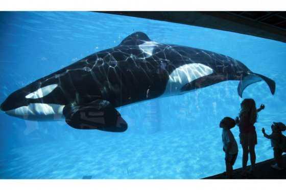California prohíbe cría y espectáculos de orcas en cautiverio