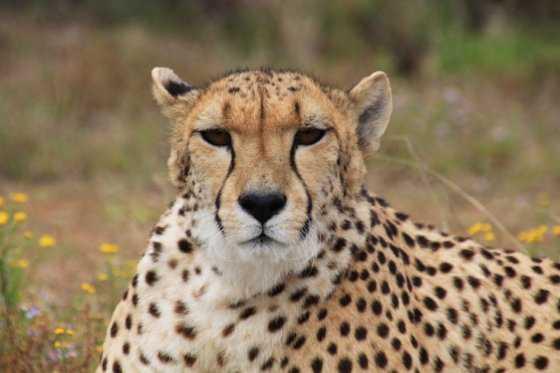 Movilización para salvar al guepardo que está al borde de la extinción