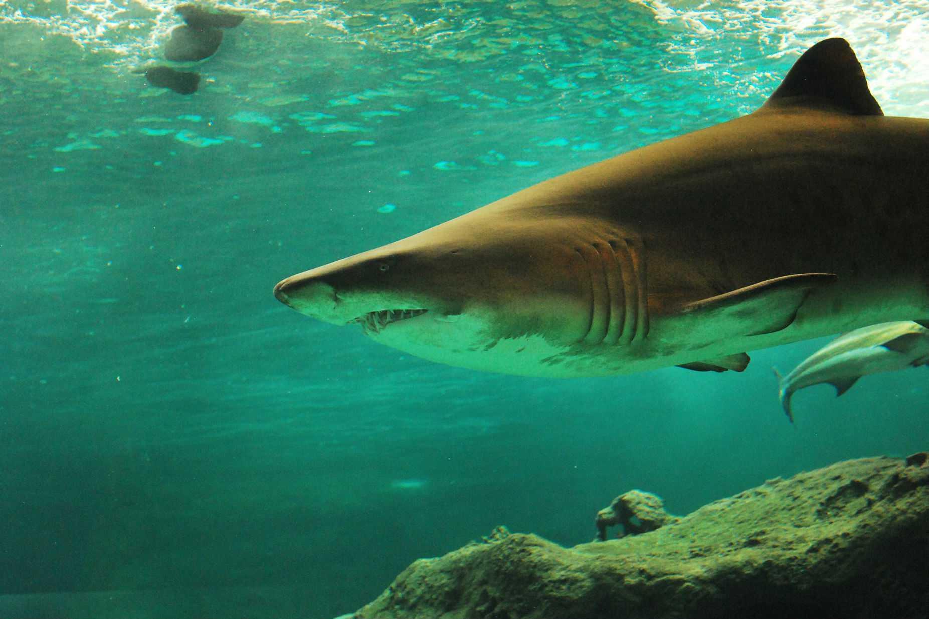Hombre muere al ser atacado por un tiburón en Australia