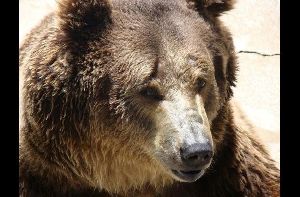 Oso mata a hombre en Parque Nacional Yellowstone