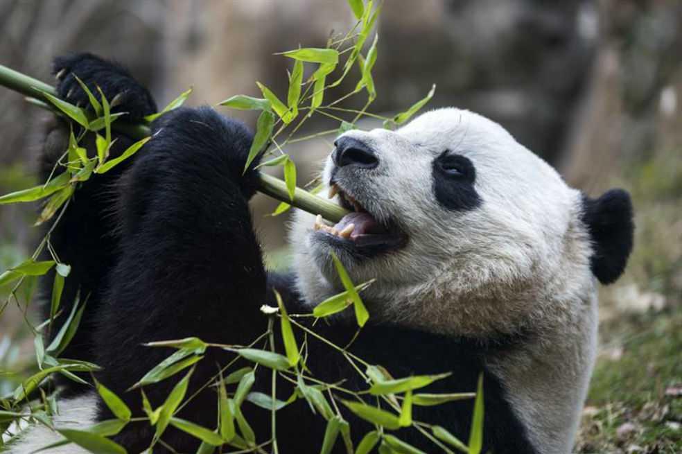 Turismo contribuye a pérdida del hábitat de pandas en China, según expertos